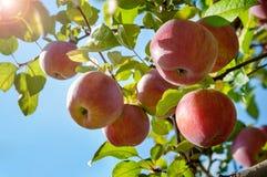 Manzanas en una rama en el jardín Imagenes de archivo