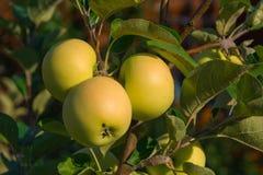 Manzanas en una rama en jardín imagenes de archivo