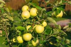 Manzanas en una rama en jardín fotos de archivo libres de regalías