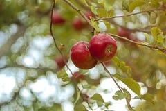 Manzanas en una ramificación Foto de archivo libre de regalías