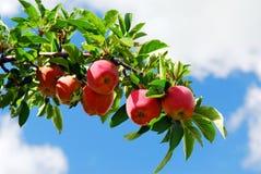 Manzanas en una ramificación Imagen de archivo libre de regalías