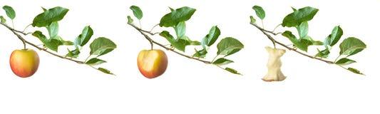 Manzanas en una ramificación Imágenes de archivo libres de regalías
