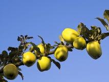 Manzanas en verano Fotos de archivo libres de regalías