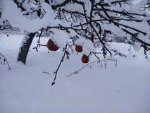 Manzanas encendido a la nieve Imágenes de archivo libres de regalías