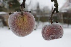 Manzanas escarchadas en el invernadero foto de archivo