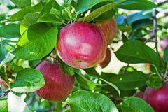 Manzanas frescas en huerta Imagenes de archivo