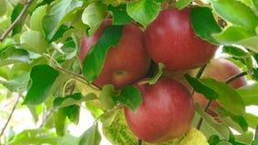 Manzanas frescas rojas en el árbol