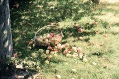 Manzanas frescas y coloridas en cesta Imagen de archivo libre de regalías