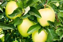 Manzanas 'golden delicious' en el árbol Imágenes de archivo libres de regalías