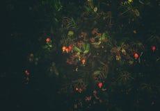 Manzanas hermosas de una nuez de acajú en un árbol fotos de archivo