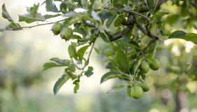 Manzanas inmaduras en el jardín Imagenes de archivo