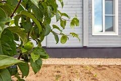 Manzanas inmaduras verdes crecientes en rama de árbol Imagen de archivo libre de regalías