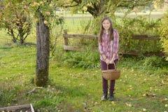 Manzanas jovenes de la cosecha del adolescente en el jardín Fotos de archivo