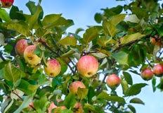 Manzanas jugosas en el jardín Imagen de archivo