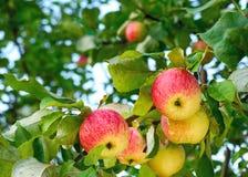 Manzanas jugosas en el jardín Imagenes de archivo