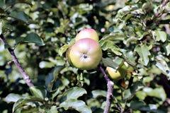 Manzanas jugosas en manzanos acolumnados de la rama Foto de archivo