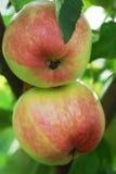 Manzanas jugosas frescas en cierre del brunch para arriba Foto de archivo