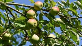Manzanas jugosas que crecen y que agitan en un brunch almacen de video