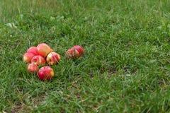manzanas jugosas rojas en hierba verde Fotografía de archivo
