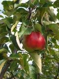 Manzanas listas para escoger de la huerta Manzanas de Michigan en el árbol en la caída Manzano Con las manzanas rojas Imagenes de archivo