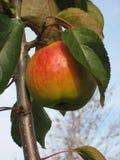 Manzanas listas para escoger de la huerta Manzanas de Michigan en el árbol en la caída Manzano Con las manzanas rojas Foto de archivo