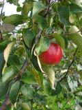 Manzanas listas para escoger de la huerta Manzanas de Michigan en el árbol en la caída Manzano Con las manzanas rojas Fotografía de archivo