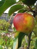 Manzanas listas para escoger de la huerta Manzanas de Michigan en el árbol en la caída Manzano Con las manzanas rojas Imagen de archivo