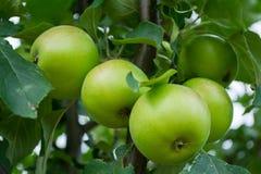 Manzanas maduradas Imágenes de archivo libres de regalías