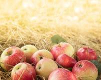 Manzanas maduras Fotografía de archivo libre de regalías
