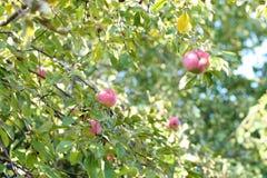 Manzanas maduras Imagen de archivo