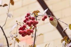 Manzanas maduras del rojo del paraíso Fotos de archivo libres de regalías