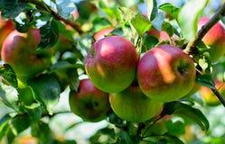 Manzanas maduras en el árbol Imágenes de archivo libres de regalías