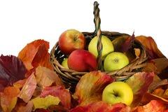 Manzanas maduras en el follaje brillante del otoño Fotografía de archivo