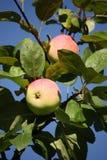 Manzanas maduras en el manzano Fotos de archivo libres de regalías