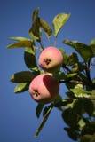 Manzanas maduras en el manzano Fotografía de archivo libre de regalías