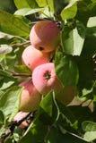 Manzanas maduras en el manzano Fotos de archivo