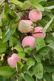 Manzanas maduras en el manzano Imagen de archivo libre de regalías