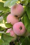 Manzanas maduras en el manzano Imágenes de archivo libres de regalías