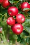 Manzanas maduras en el árbol, cierre para arriba Imagen de archivo