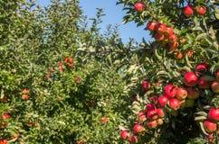 Manzanas maduras en huerta Fotografía de archivo