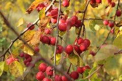 Manzanas maduras en jardín del otoño Imagenes de archivo