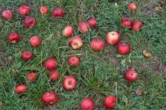 Manzanas maduras en la hierba en las manzanas maduras de la cosecha en hierba Fotos de archivo libres de regalías