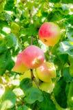 Manzanas maduras en ramificaciones de árbol Hojas rojas de la fruta y del verde huerta Foto de archivo