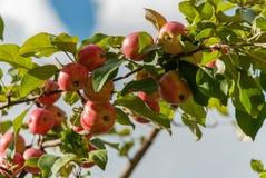 Manzanas maduras en un arbusto con las hojas verdes Fotografía de archivo libre de regalías