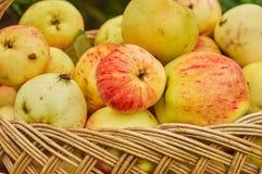 Manzanas maduras en una cesta fotos de archivo libres de regalías