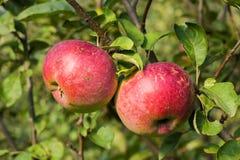 Manzanas maduras en una rama Fotografía de archivo