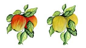 Manzanas maduras en una ramificación Imágenes de archivo libres de regalías