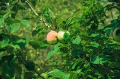 Manzanas maduras en una ramificación Imagenes de archivo