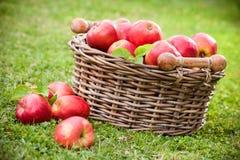 Manzanas maduras frescas en cesta Imagen de archivo
