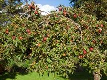 Manzanas maduras frescas en un árbol Foto de archivo libre de regalías